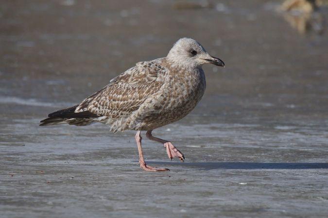 European Herring Gull  - Wolfgang Schweighofer