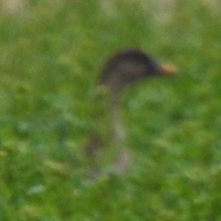Bean Goose (A.f.rossicus)
