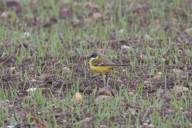Western Yellow Wagtail (M.f.cinereocapilla)  - David Nayer