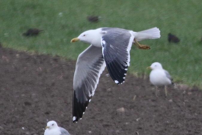 Heuglin's Gull  - Jakob Vratny