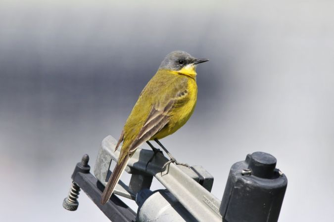Western Yellow Wagtail (M.f.cinereocapilla)  - Patrick Mösinger