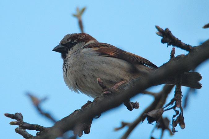 Hybrid Italian x House Sparrow  - Philipp Rauscher