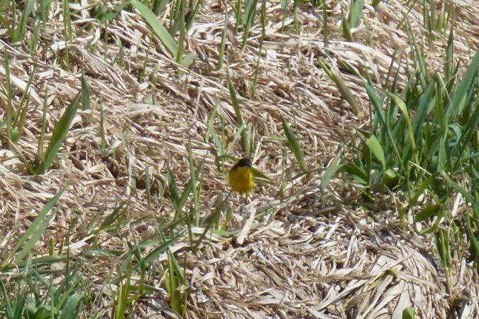 Black-headed Wagtail (ssp. feldegg)  - Gabriele Snopek