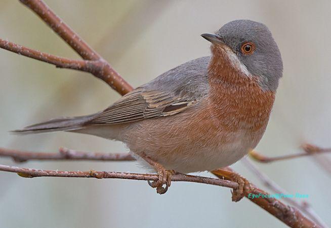 Subalpine Warbler  - Peter Rass