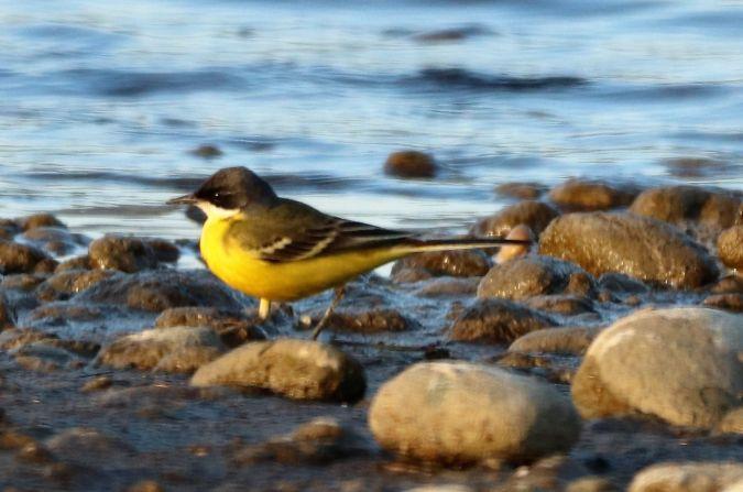 Western Yellow Wagtail (M.f.cinereocapilla)  - Jiri Vratny