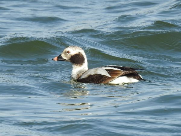Long-tailed Duck  - Jörg Schmitz
