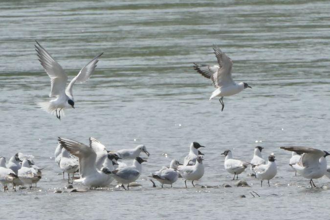 Gull-billed Tern  - Werner Zimmermann