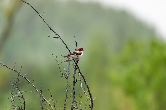 Woodchat Shrike  - Sylvia Marchart