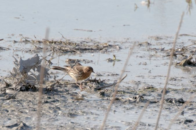 Red-throated Pipit  - Benjamin Knes