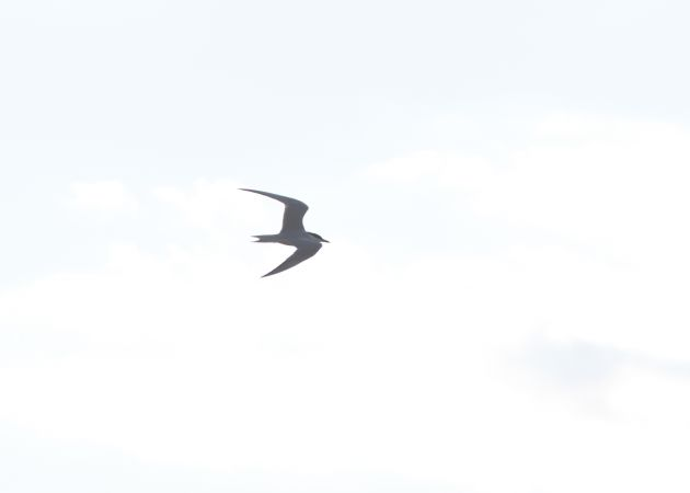 Gull-billed Tern  - Benjamin Knes