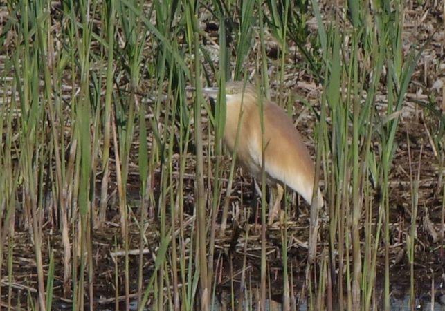Squacco Heron  - Roman Matz
