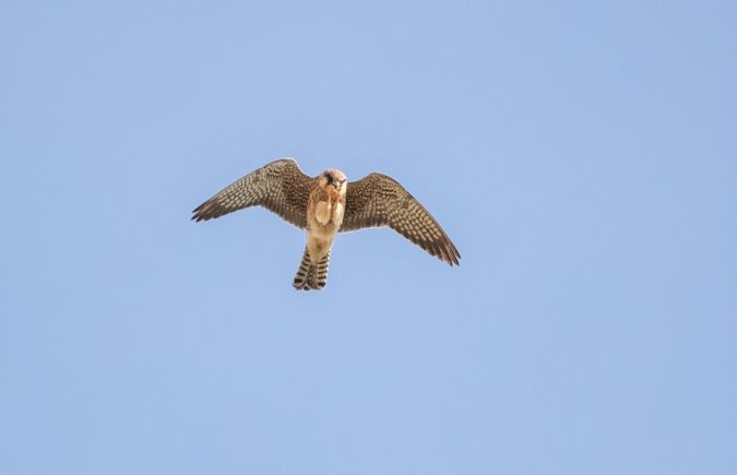 Red-footed Falcon  - Gebhard Brenner