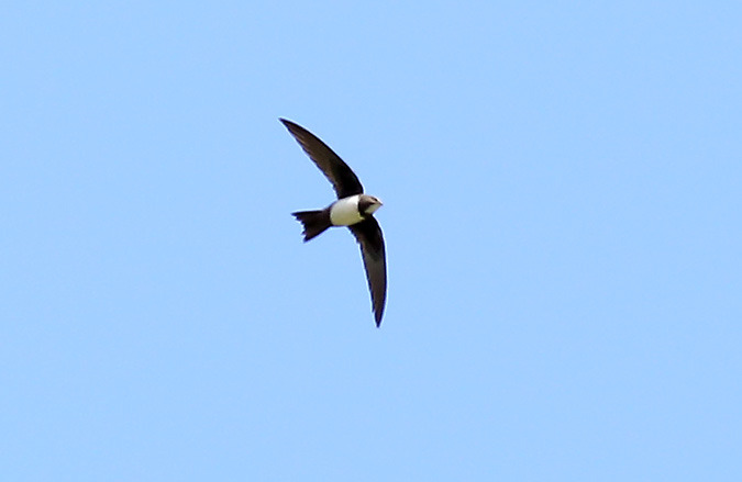 Alpine Swift  - Günter Mandl