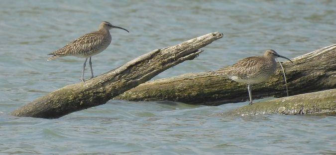 Whimbrel  - Hubert Blatterer