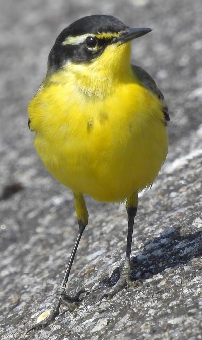 Western Yellow Wagtail  - Hubert Blatterer