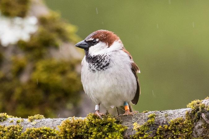 Hybrid Italian x House Sparrow  - Ralph Winkler