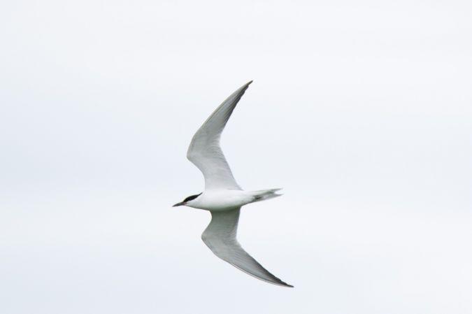 Gull-billed Tern  - Michael Seisl