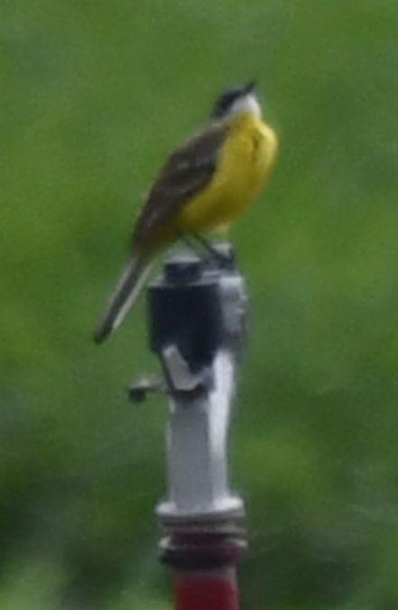 Western Yellow Wagtail (M.f.cinereocapilla)  - Ingrid Bistan