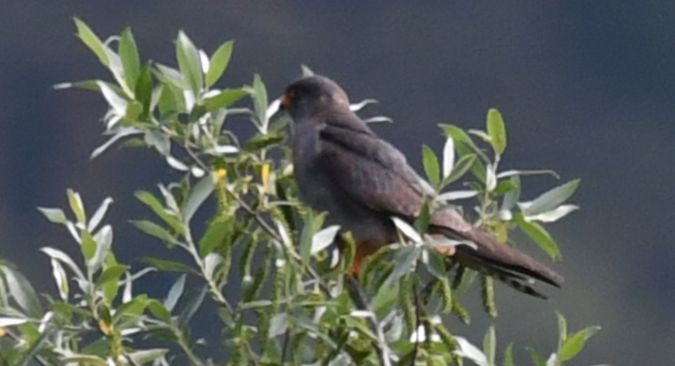Red-footed Falcon  - Ingrid Bistan