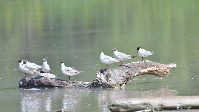 Gull-billed Tern  - Renate u. Rudolf Tengler