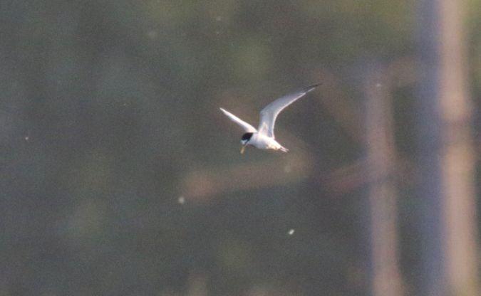 Little Tern  - Richard Katzinger