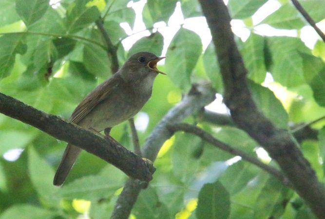 Thrush Nightingale  - Richard Katzinger