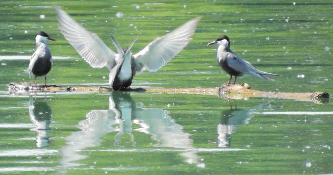 Weißbart-Seeschwalbe  - Hubert Blatterer