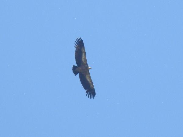 Griffon Vulture  - Jörg Schmitz