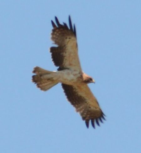 Booted Eagle  - Nikolaus Filek