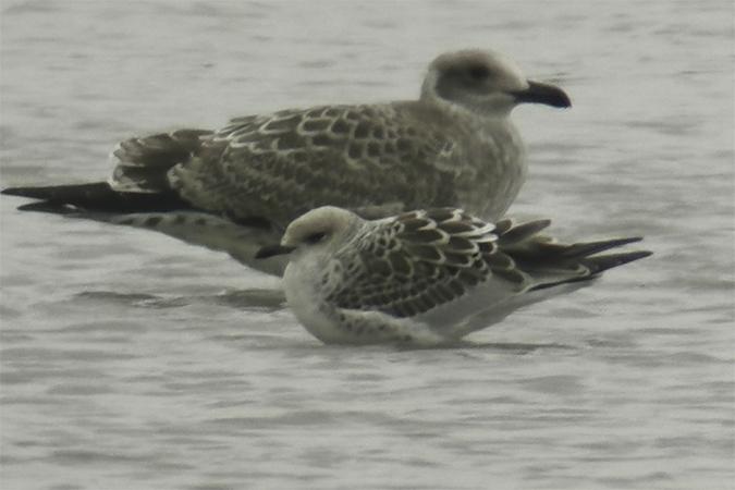 Mediterranean Gull  - Thomas & Christa Pumberger