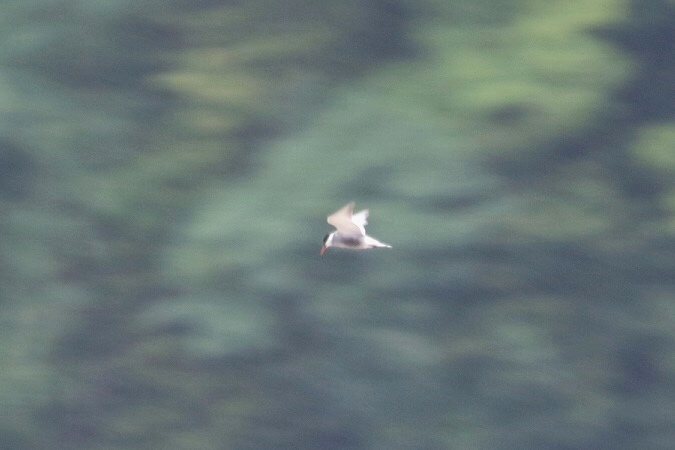 Weißbart-Seeschwalbe  - Jakob Vratny