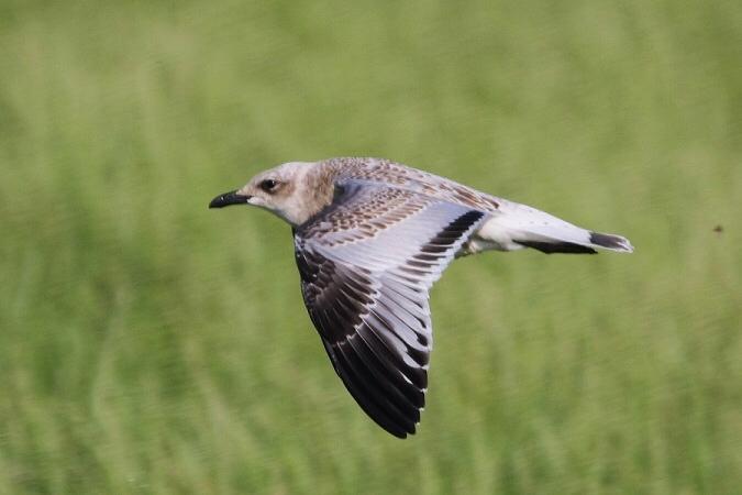 Mediterranean Gull  - Jakob Vratny