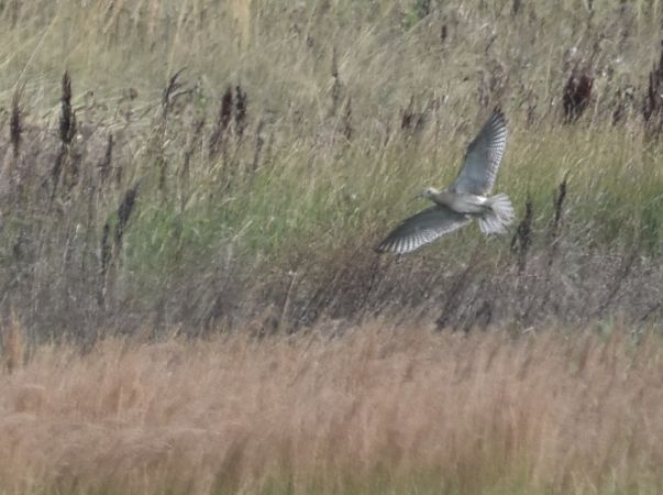 Eurasian Curlew  - Philippe Loyoddin