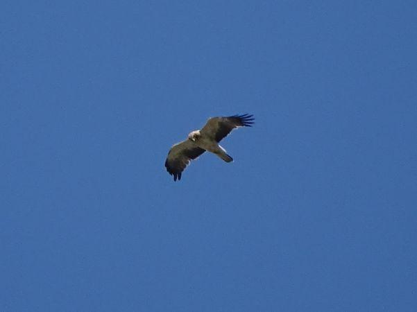 Booted Eagle  - Alexander Foki