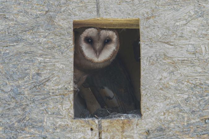 Western Barn Owl  - Jürgen Prohaska-Hotze