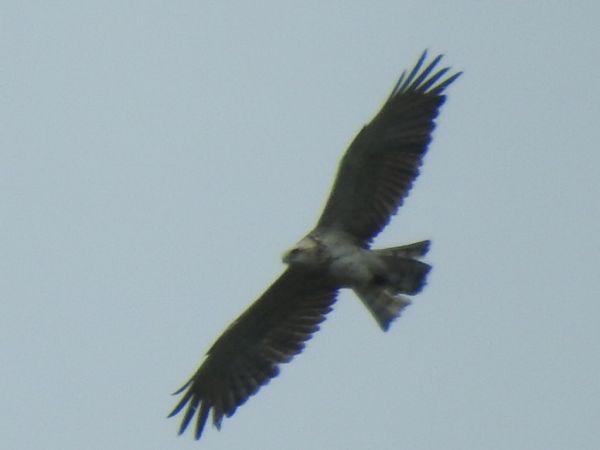 Short-toed Snake Eagle  - Rainer Jellinek