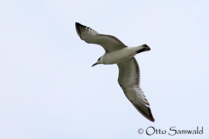 Mediterranean Gull  - Otto Samwald
