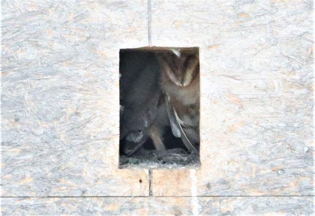 Western Barn Owl  - Reinhard Wolf