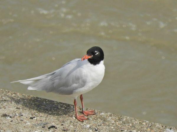 Mediterranean Gull  - Peter Frühwirth