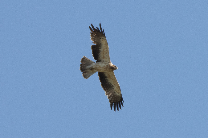 Booted Eagle  - Andreas Ranner