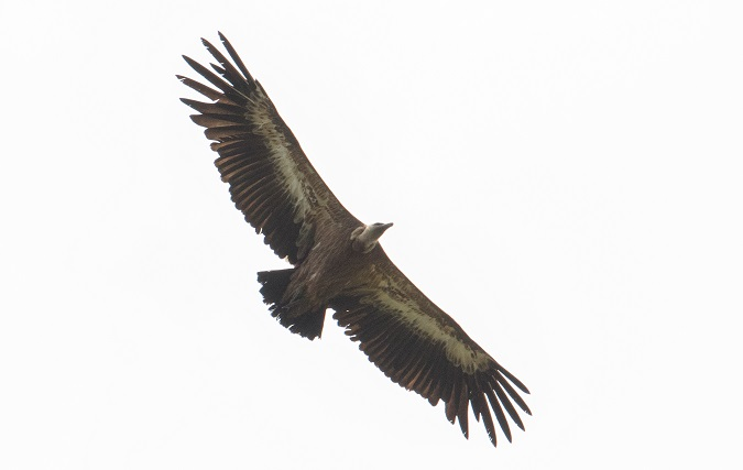 Griffon Vulture  - Ralph Winkler