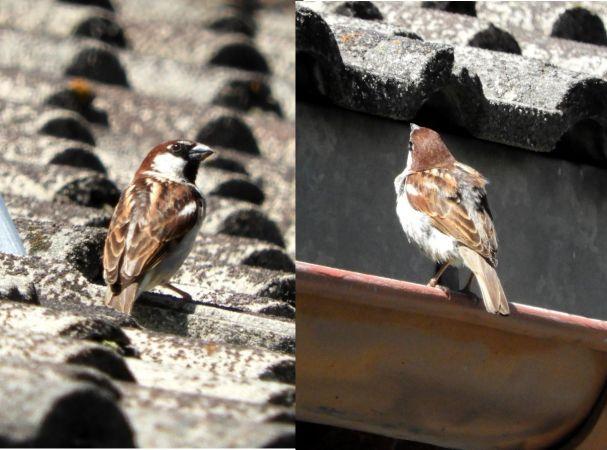 Italian Sparrow  - Wolf Gschwandtner