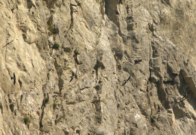 Alpine Swift  - Wolf Gschwandtner