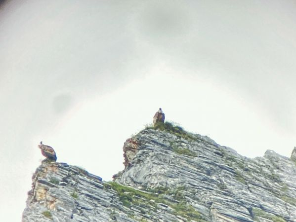 Griffon Vulture  - Timon Bock