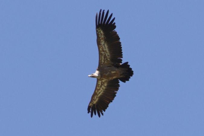 Griffon Vulture  - Dave Jenkins