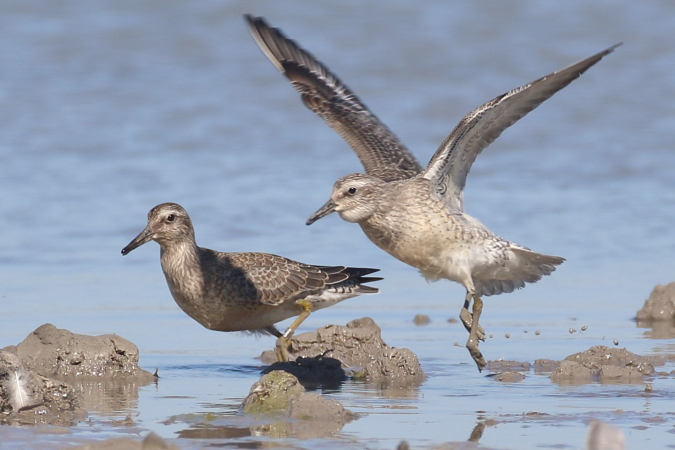 Red Knot  - Thomas & Christa Pumberger