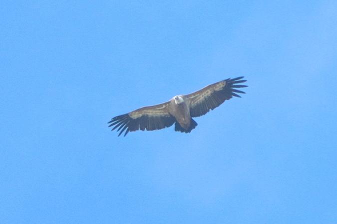 Griffon Vulture  - Bernhard Zens