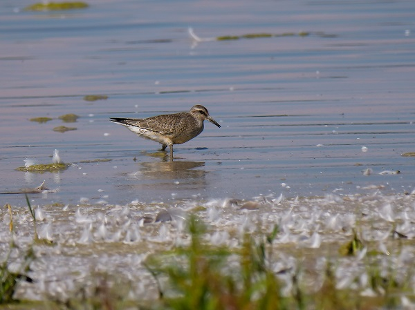 Red Knot  - Andreas Reiter