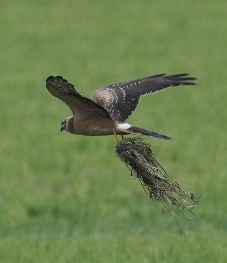 Pallid Harrier  - Heinrich Schlacher