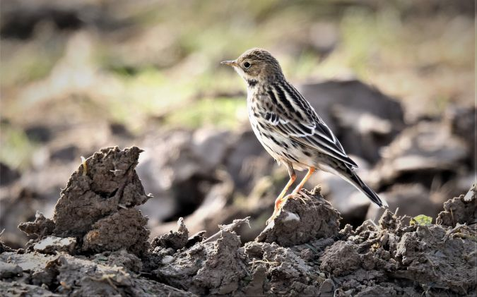 Red-throated Pipit  - Gerald Puchberger